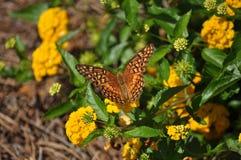 Varigated Fritillary Butterfly. Variegated Fritillary (Euptoreta Claudia) feeding atop lantana flower Royalty Free Stock Images
