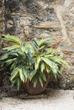 Varigated Green Plant next to Stone Wall. A varigated green plant in a large reddish pot sits next to a warm-toned stone wall Stock Photo