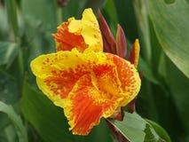 Varigated kolory Dodają Specjalnego charakteru Jakaś kwiat fotografia royalty free