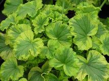 Varigated Leaf Background Royalty Free Stock Images