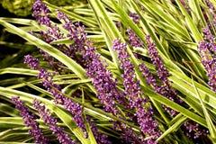Free Varigated Liriope Spicata Flowers Stock Image - 21219271