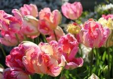 Varigated rosa tulpan i La Conner, WA royaltyfri foto
