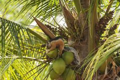 Varigated Tree Squirrel Chewing on a Coconut Stock Image