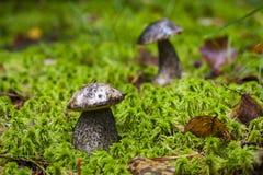 Variicolor лекцинума (подосиновик) в лесе Стоковое Изображение