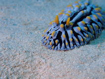 Variköser Wart Slug Red Sea Stockfotografie