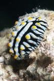 Varikeuze wrattennaaktslak (varicosa Phyllidia) Stock Fotografie
