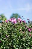 Vario abeja en la planta rosada de la flor que florece en verano Imagen de archivo