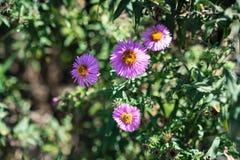 Vario abeja en la planta rosada de la flor que florece en verano Imagenes de archivo