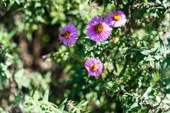 Vario abeja en la planta rosada de la flor que florece en verano Foto de archivo libre de regalías