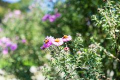 Vario abeja en la planta rosada de la flor que florece en verano Imagen de archivo libre de regalías