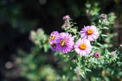 Vario abeja en la planta rosada de la flor que florece en verano Fotografía de archivo libre de regalías