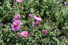 Vario abeja en la planta rosada de la flor que florece en verano Imágenes de archivo libres de regalías