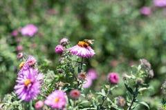 Vario abeja en la planta rosada de la flor que florece en verano Fotos de archivo libres de regalías