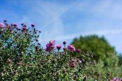 Vario abeja en la planta rosada de la flor que florece en verano Fotografía de archivo