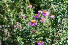 Vario abeja en la planta rosada de la flor que florece en verano Foto de archivo