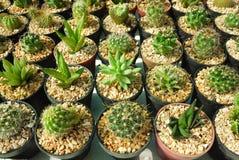 Vario cactus in piccoli vasi Immagini Stock Libere da Diritti