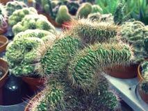 Vario cactus in una serra di vetro per protezione nel conservatorio e nel giardino botanico fotografia stock
