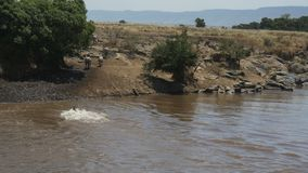 Vario cebra con seguridad cruzar a Mara River en Kenia almacen de metraje de vídeo