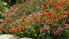 Vario Coneflower multicolore - margherita nel cortile domestico del giardino archivi video