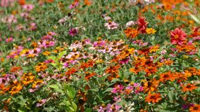 Vario Coneflower multicolore - margherita nel cortile domestico del giardino video d archivio