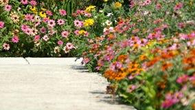 Vario Coneflower multicolore - margherita soffiata da una brezza archivi video