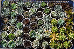 Vario dei succulenti variopinti Fotografia Stock