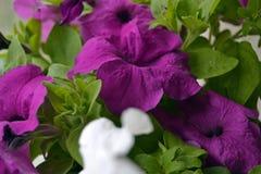 Vario flor púrpura de la petunia con las hojas verdes fotos de archivo