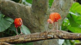 Vario Ibis rojo hermoso que lucha para la comida Escarlata ibis almacen de video