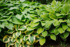Vario ospite nel giardino di estate, grande pianta per i punti ombreggiati con fogliame decorativo Fotografia Stock