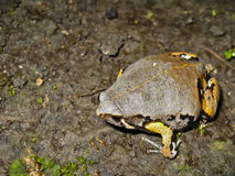 Variolosus Sheepfrog Stock Photo