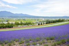 Variopinto dell'azienda agricola della lavanda nel Giappone Immagini Stock