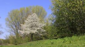 Variopinto della primavera Cherry Blooming Green Nature immagini stock libere da diritti