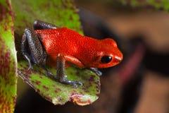 Variopinto della rana rossa del veleno e bello esotici Fotografie Stock Libere da Diritti
