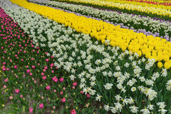 Variopinto tulpen, narzissen nei giardini olandesi di Keukenhof della molla Fotografie Stock