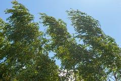 Varios abedules doblaron por el fuerte viento en el paisaje de la primavera Imagen de archivo