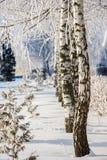 Varios abedules en la nieve en el invierno Fotografía de archivo