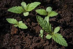 Varios brotes jovenes de la marijuana con la primera se van en el fondo del suelo imágenes de archivo libres de regalías