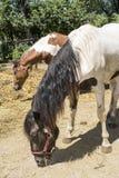 Varios caballos comen la hierba seca Imagen de archivo libre de regalías