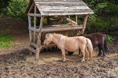 Varios caballos en el prado y doblados sobre la consumición de la hierba seca Imagen de archivo libre de regalías