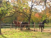 Varios caballos que pastan en un campo debajo de árboles Fotos de archivo
