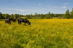 Varios caballos que pastan entre las flores Fotos de archivo libres de regalías