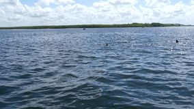Varios delfínes que nadan en la Florida riegan, 4K almacen de video