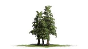 Varios diversos árboles de cedro de rojo occidental stock de ilustración