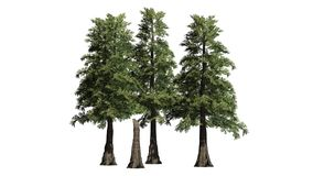 Varios diversos árboles de cedro de rojo occidental libre illustration