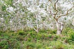 Varios osos de koala que se reclinan en árboles de goma Fotos de archivo