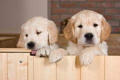 Varios perritos del perro perdiguero de oro Fotos de archivo libres de regalías