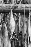 Varios pescados colgados para secarse imágenes de archivo libres de regalías