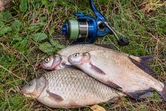 Varios pescados comunes de la brema, pescados crucian, pescados de la cucaracha, pescados tristes en el fondo natural Pescados de fotos de archivo