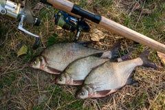 Varios pescados comunes de la brema en el fondo natural Pescados de agua dulce y cañas de pescar de cogida con los carretes en hi fotos de archivo libres de regalías