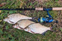 Varios pescados comunes de la brema en el fondo natural Los pescados de agua dulce y la ca?a de pescar de cogida con la pesca asp fotos de archivo libres de regalías